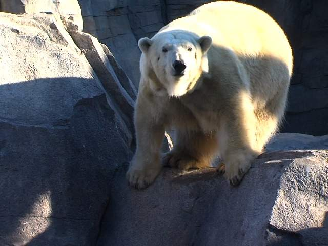 KSHB: BERLIN POLAR BEAR DEBUTS AT KANSAS CITY ZOO 130117