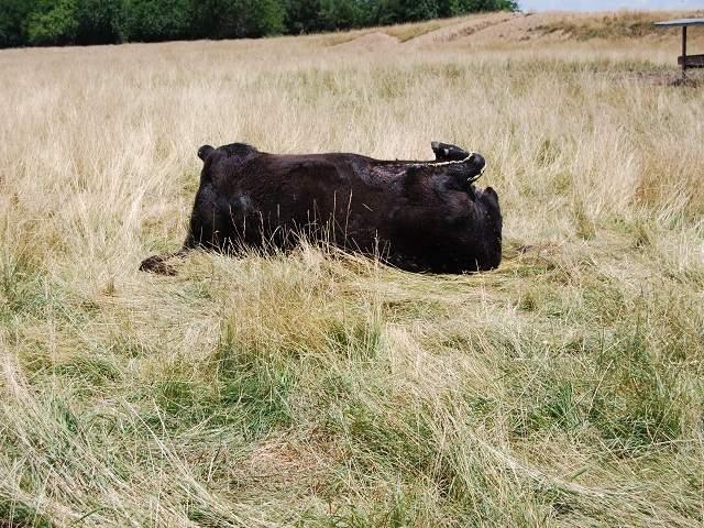 mutilé cow2 20130729_20130729190052_JPG