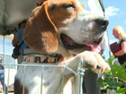 Researchers blinded beagles before euthanization