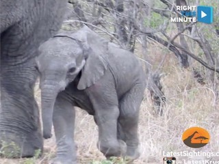 WATCH: Baby elephant tries to cross the street
