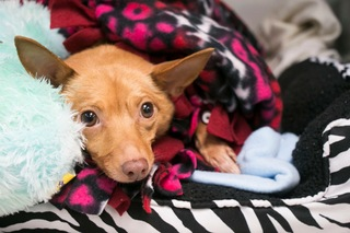 Chihuahua mix's tumor successfully removed