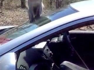 VIDEO: Mob of monkeys take over car