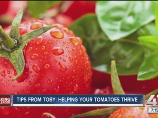 Tips from Toby: Helping your tomatoes thrive