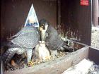 WATCH: Kansas City Peregrine falcons live