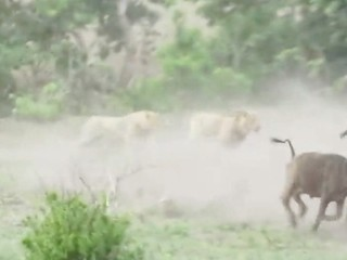 VIDEO: Lions take on a herd of buffalo