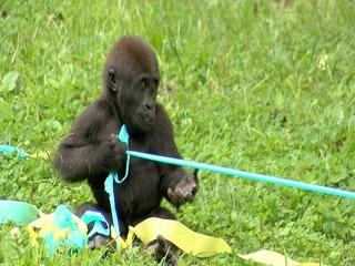 Baby gorilla at KC Zoo celebrates first birthday
