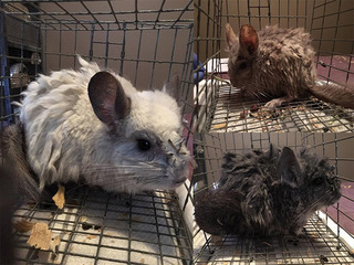 PHOTOS: KC Pet Project rescues 25 chinchillas