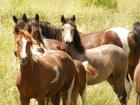Adopt a horse or burro in Sedalia