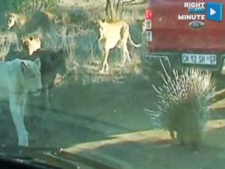 VIDEO: lion pride match their wits against a...