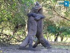 VIDEO: Komodo dragons face off