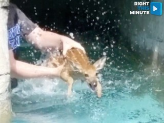 Water-loving fawn is interrupted by humans