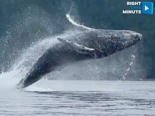 VIDEO: Humpback gives kayakers a show