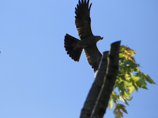 PHOTOS: Mississippi Kite spotted in Parkville