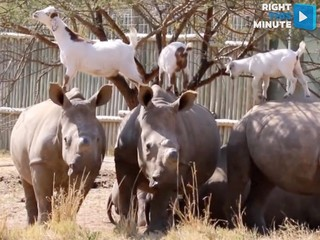 VIDEO: Goats and rhinos form an unlikely friends