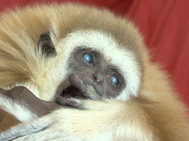Blind baby Gibbon's sight restored by Kansas veterinarians ...