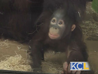 ZOOSDAYS: Meet Dusty the baby orangutan!