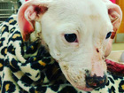 Humane Society treating puppy set on fire in KCK