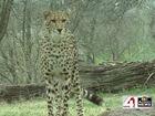 ZOOSDAY: Cheetahs