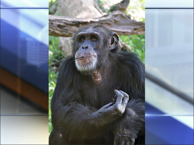 Chimpanzee dies in fall from tree at the Kansas City Zoo