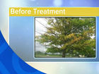 How to cure yellowing leaves on trees