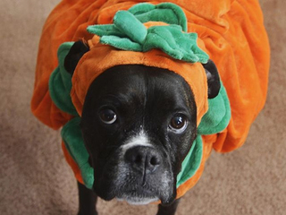 Halloween can mean a doggie ER visit