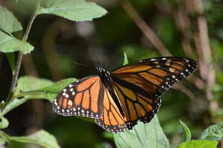 KC hopes to save dwindling butterfly population