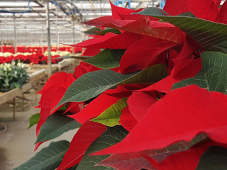 Your poinsettia might have been grown in KC