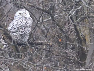 PICS: Rare snowy owl spotted at Smithville Lake