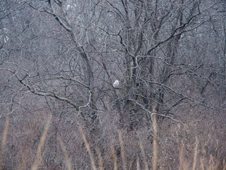 Officials: snowy owls from Arctic dying in KS