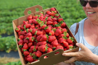 Long winter pushes strawberry season to mid-May